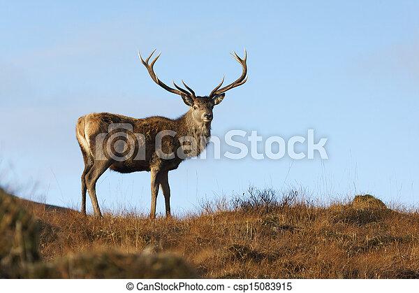 Red deer, Cervus elaphus, single male, Glen Garry, Scotland, November 2012                     - csp15083915