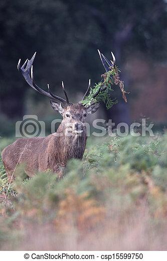Red deer, Cervus elaphus - csp15599750