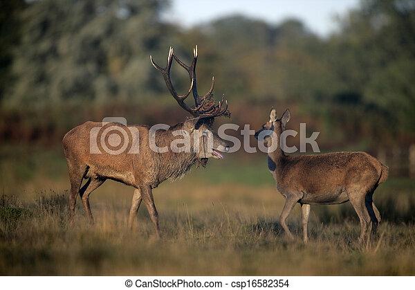 Red deer, Cervus elaphus       - csp16582354