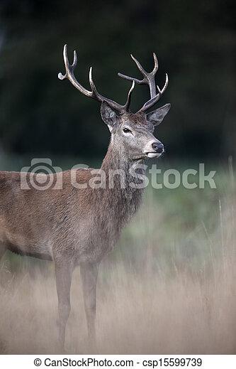 Red deer, Cervus elaphus - csp15599739
