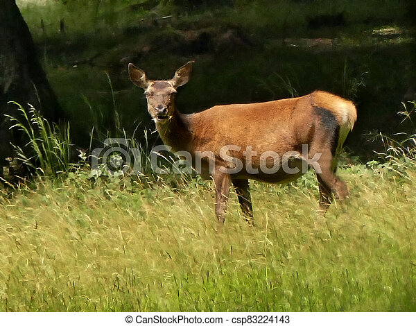 red deer chews grass on a meadow in Germany - csp83224143