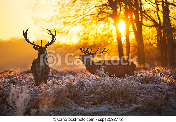 Red Deer in Morning Sun. - csp12592772