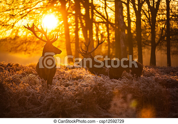 Red Deer in Morning Sun. - csp12592729