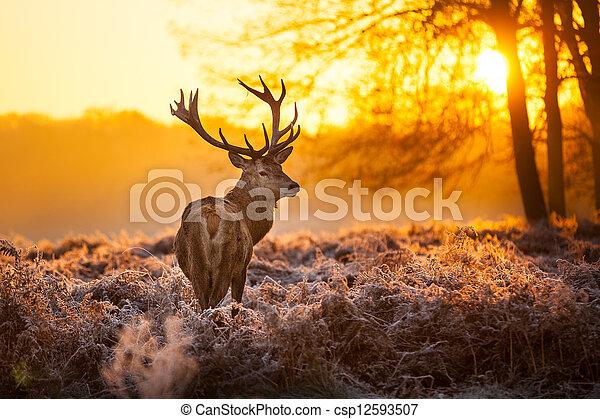 Red Deer in Morning Sun. - csp12593507