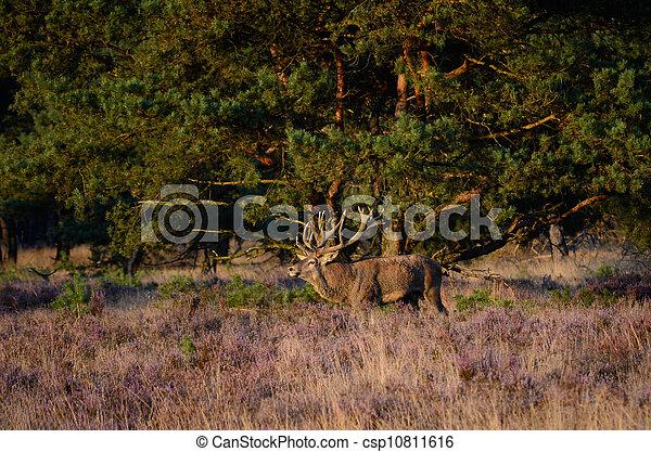Red deer in the heath - csp10811616