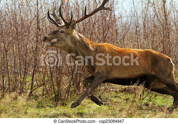 red deer jumping - csp23084947