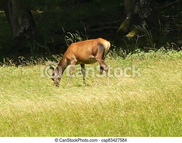red deer on a meadow in Germany - csp83427584