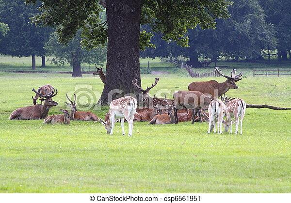 Red Deer stag (Cervas elaphus) and Fallow Deer( Dama dama) - csp6561951