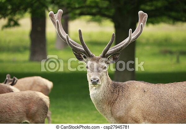 Red Deer Stag - csp27945781