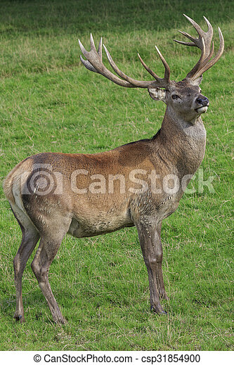 Red Deer Stag - csp31854900