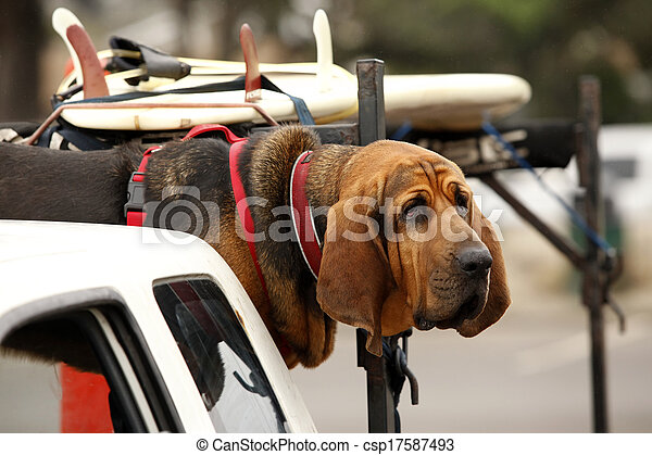 red dog in car - csp17587493