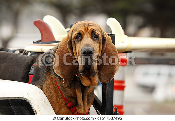 red dog in car - csp17587495