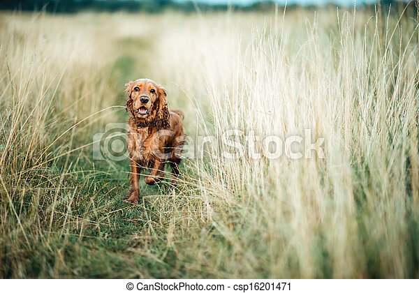 red dog in the grass - csp16201471