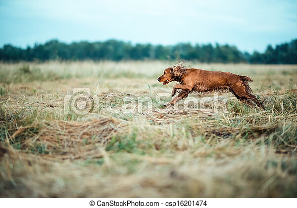 red dog in the grass - csp16201474