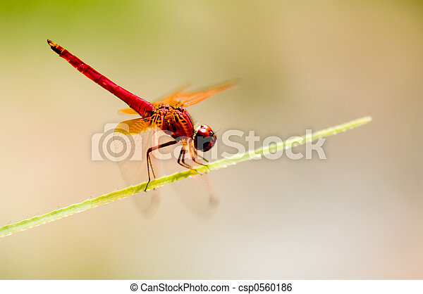 Red Dragonfly 2 - csp0560186