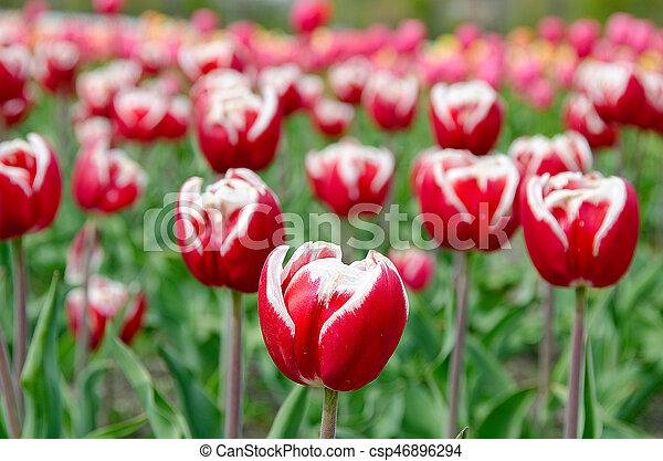 red Dutch tulips in field - csp46896294