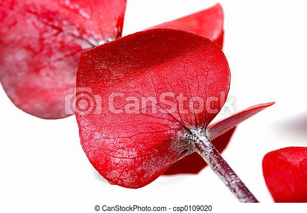 Red Eucalyptus - csp0109020