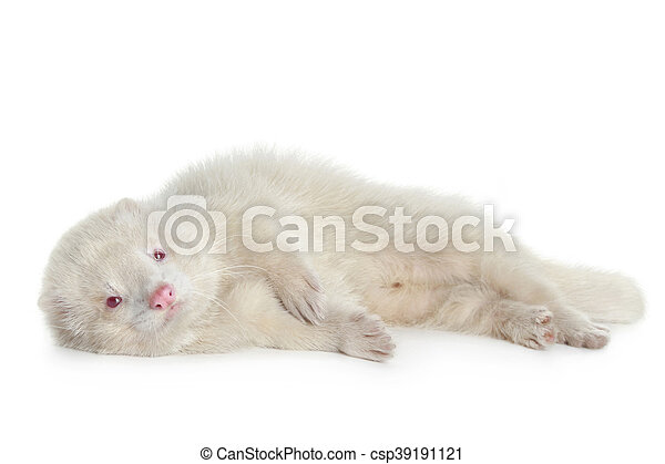 Red eyed albino ferret - csp39191121