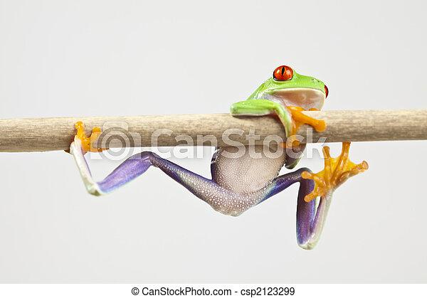 Red eyed leaf frog - csp2123299