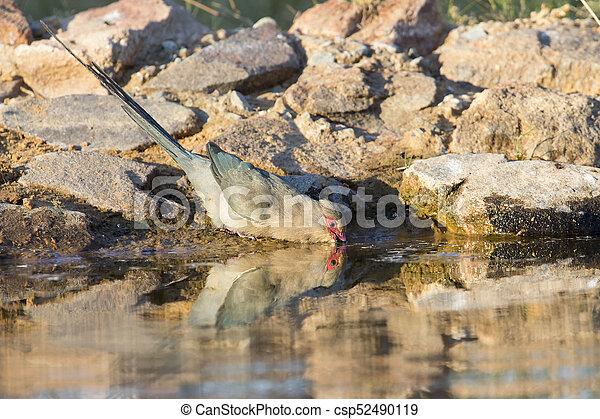 Red Faced Mouse Bird drinking water at  waterhole in the Kalahari - csp52490119