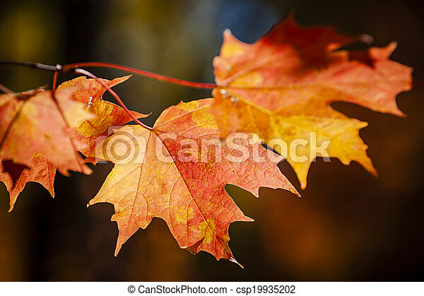 Red fall maple leaves - csp19935202