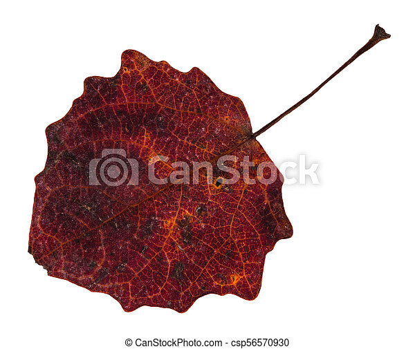 red fallen leaf of aspen tree isolated on white - csp56570930