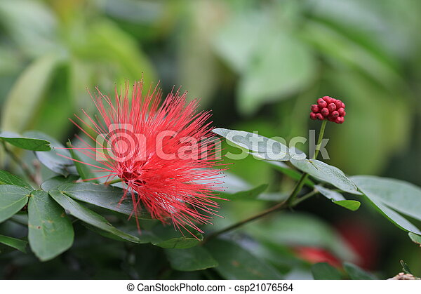 red flower and bud - csp21076564