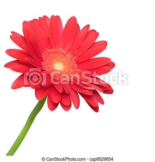 Red flower on white background. Natural elegance illustration design with blooming gerbera - csp9529854