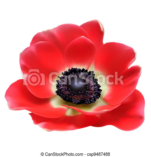 Red flower spring blossom seasonal vector illustration. Anemone isolated on white - csp9487488