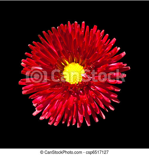 Closeup on beautiful red flower with yellow center isolated on black red flower with yellow center isolated on black background csp6517127 mightylinksfo
