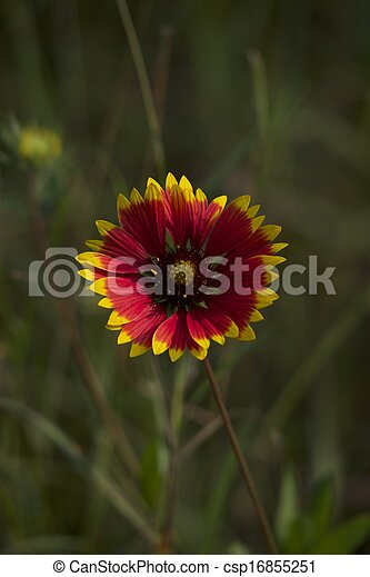 Red flower with yellow tips to petals red flower with yellow tips csp16855251 mightylinksfo