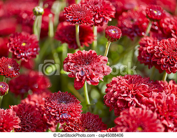 Red flowers background with shallow depth of field - csp45088406