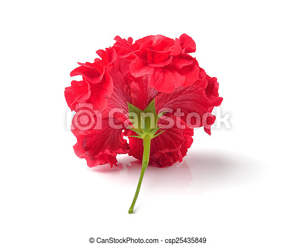 Red flowers isolated on white background red flowers isolated on white background csp25435849 mightylinksfo