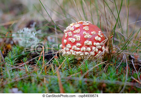 Red fly agaric in moss. Close up view - csp84939574