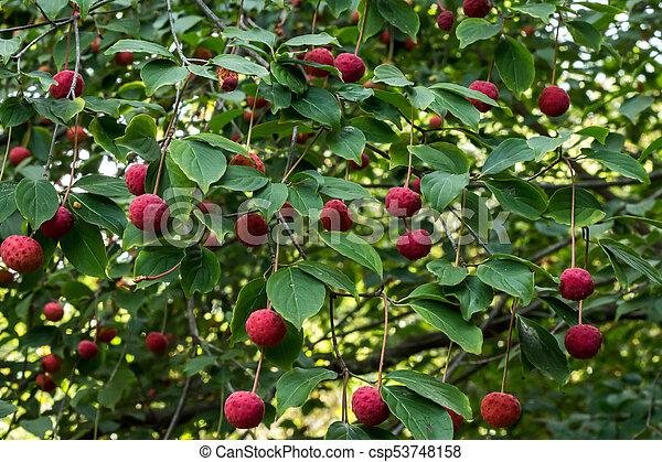 Red Fruit Berries On Dogwood Tree Against Green Leaves