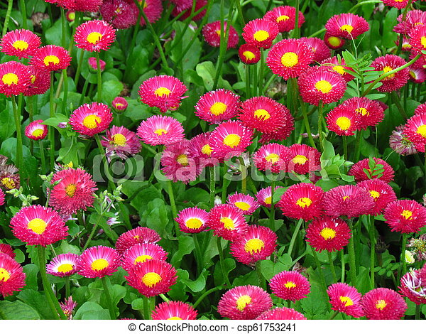 red full-blown garden daisies on a summer bed - csp61753241