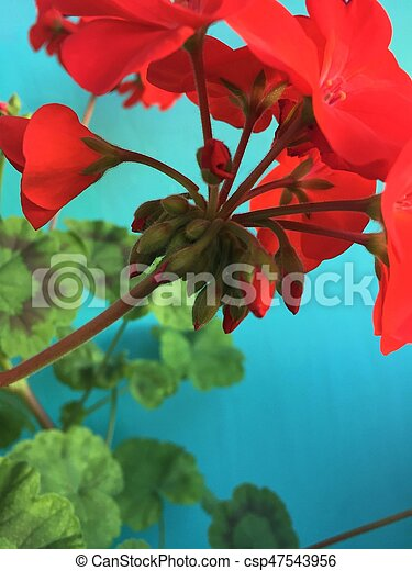 Red geranium flowers on a blue background - csp47543956