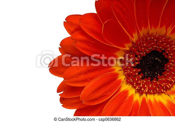 Red Gerbera Daisy - csp0636862