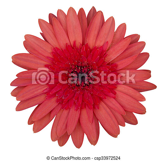red gerbera flower isolated on white - csp33972524