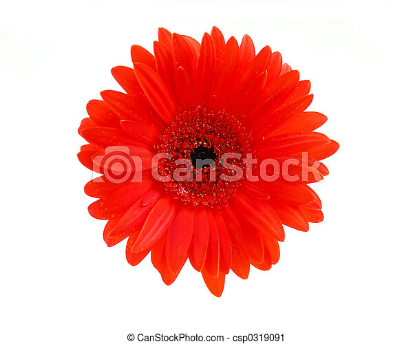 Red gerbera flower - csp0319091