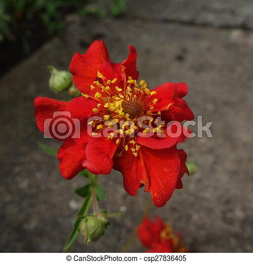 Red geum flower close up of bright red geum flower with yellow stamens red geum flower csp27836405 mightylinksfo