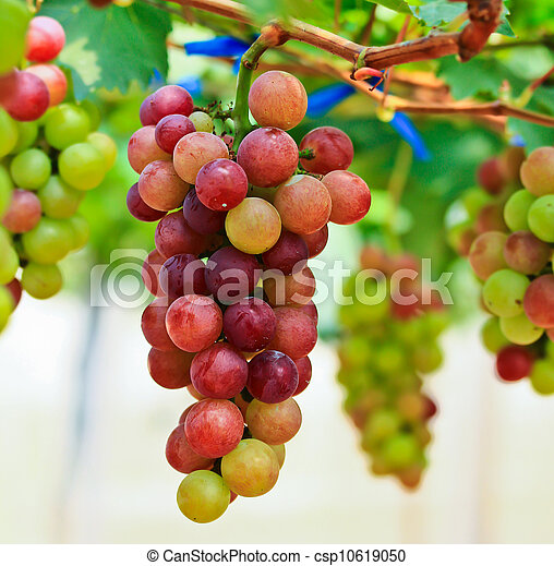Red grapes. - csp10619050