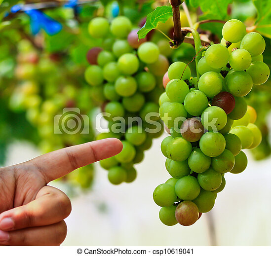 Red grapes. - csp10619041