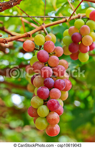 Red grapes. - csp10619043