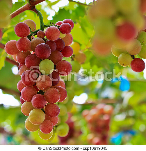Red grapes. - csp10619045