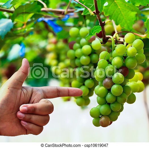 Red grapes. - csp10619047