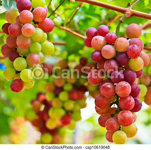 Red grapes. - csp10619048