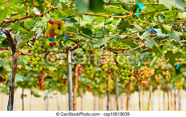 Red grapes. - csp10619039
