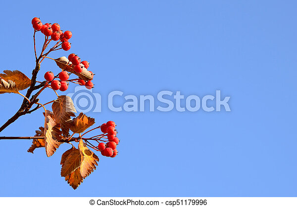 Red hawthorn berries on blue sky background - csp51179996