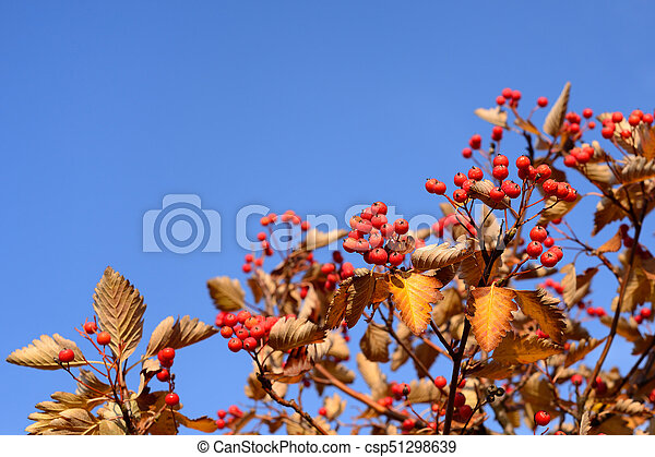 Red hawthorn on blue sky background - csp51298639